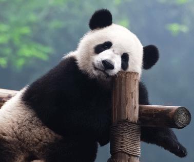 images/panda.png